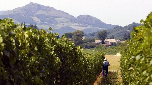 A man walking past grape vines at a vineyard in Parma