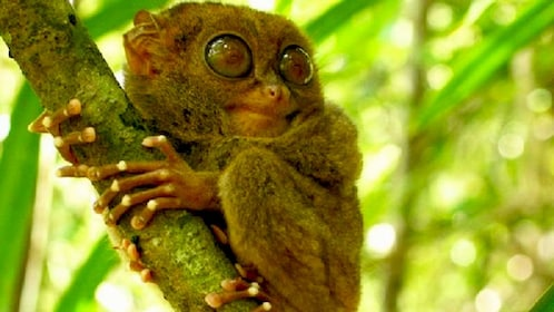 Wild tarsier clinging onto a tree in Bohol