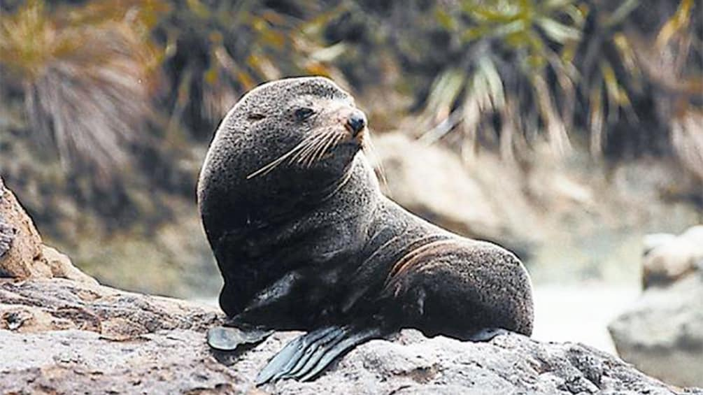 Show item 3 of 5. Sea lion in Christchurch