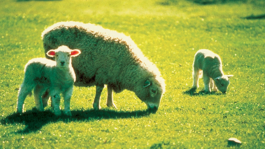Show item 5 of 5. Small group of sheep in field