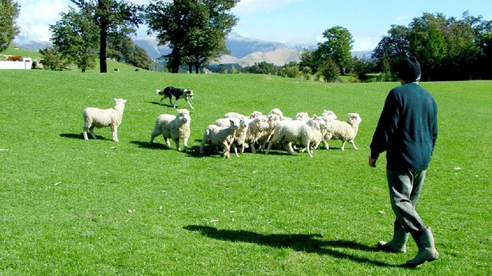 Show item 3 of 5. Small group of sheep in field
