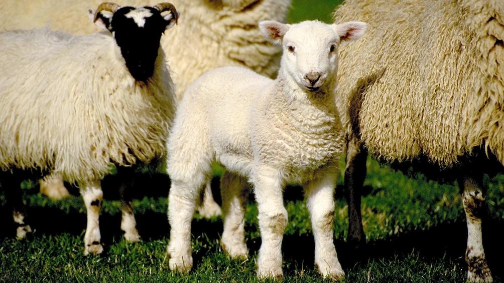 Show item 1 of 5. Lamb in Christchurch