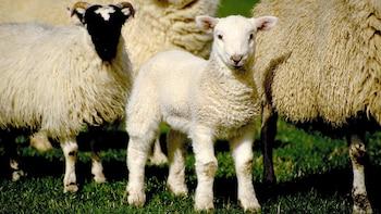 Half-Day Sheep Farm Tour