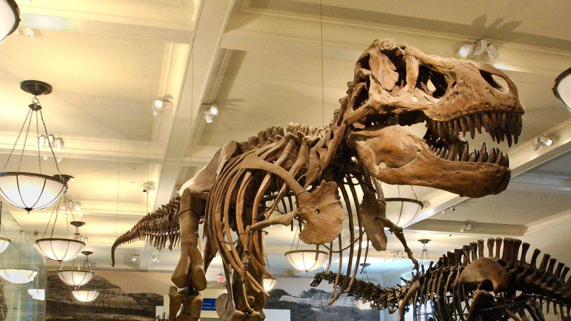 Tyrannosaurs rex skeleton in the American Museum of Natural History in New York