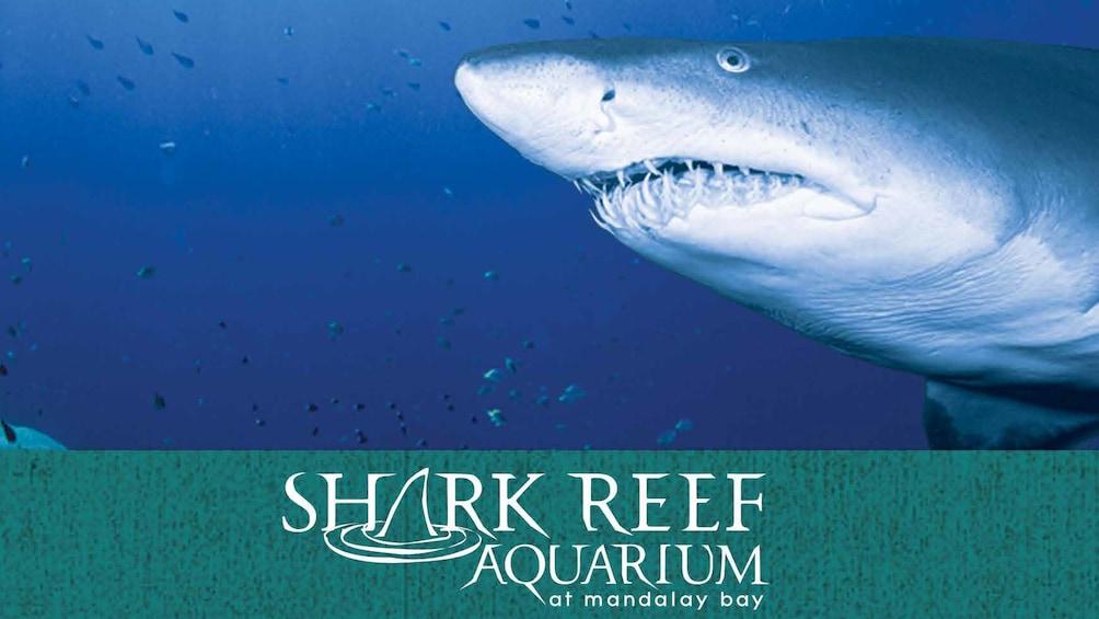Carregar foto 1 de 5. Tiger shark prowling the aquarium at Mandalay Bay in Las Vegas