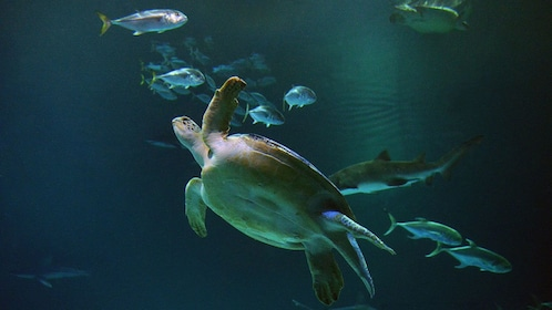View sea turtles along with two thousand animals at the Shark Reef Aquarium
