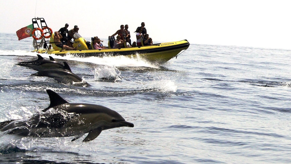 Charger l'élément 7 sur 7. Pod of dolphins leaping out of the water alongside a tour boat off the coast of Algarve