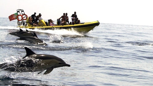 Pod of dolphins leaping out of the water alongside a tour boat off the coast of Algarve