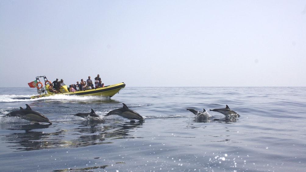 Charger l'élément 3 sur 7. Pod of dolphins leaping alongside a tour boat off the coast of Algarve
