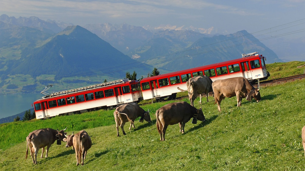 Mountain train and cows in Switzerland