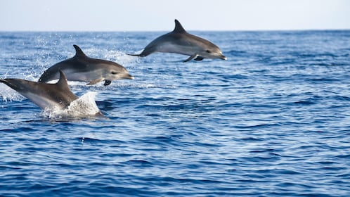 Three dolphins in Madeira
