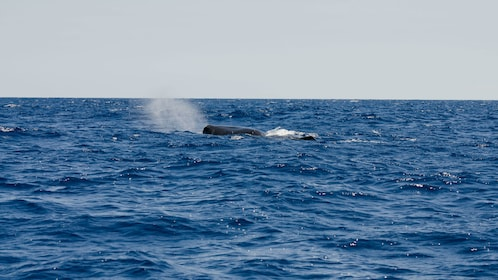 A whale in Madeira