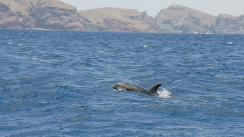 A dolphin off the coast of Madeira