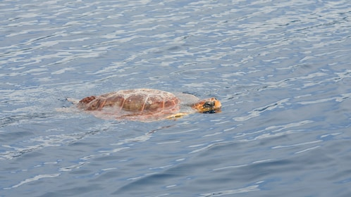 A sea turtle in the water in Madeira