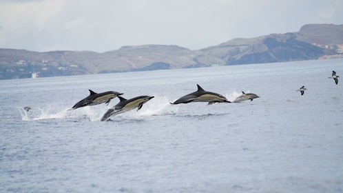 A pod of dolphins in Madeira