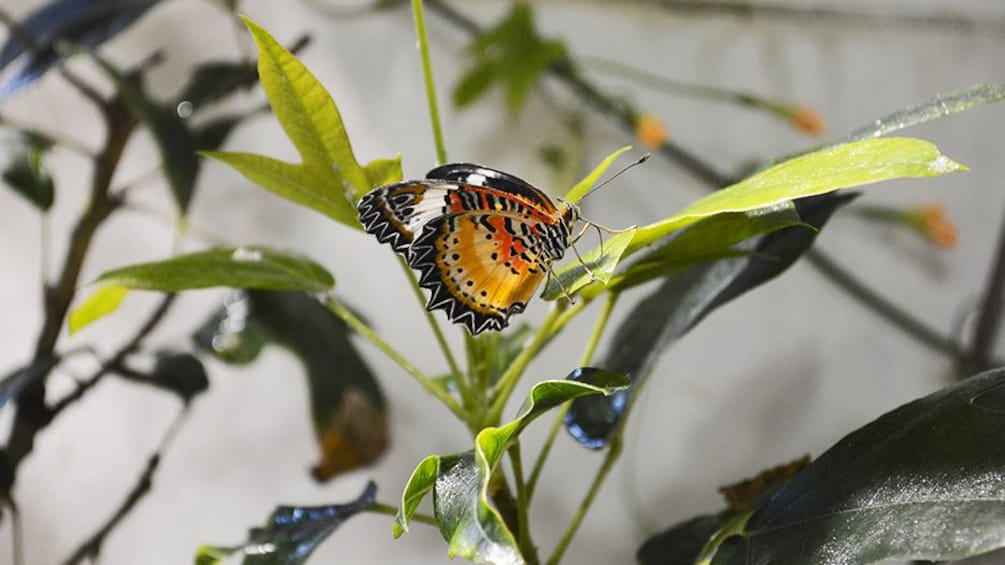 Show item 3 of 6. butterfly on leaf at Audubon Butterfly Garden in New Orleans