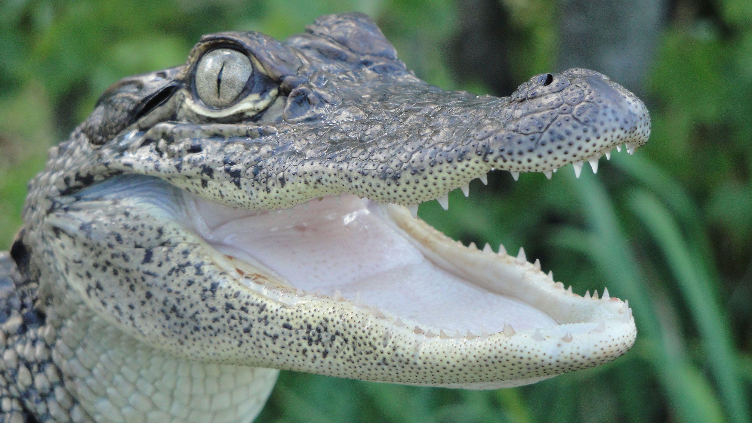 baby alligator in bayou swamp in New Orleans