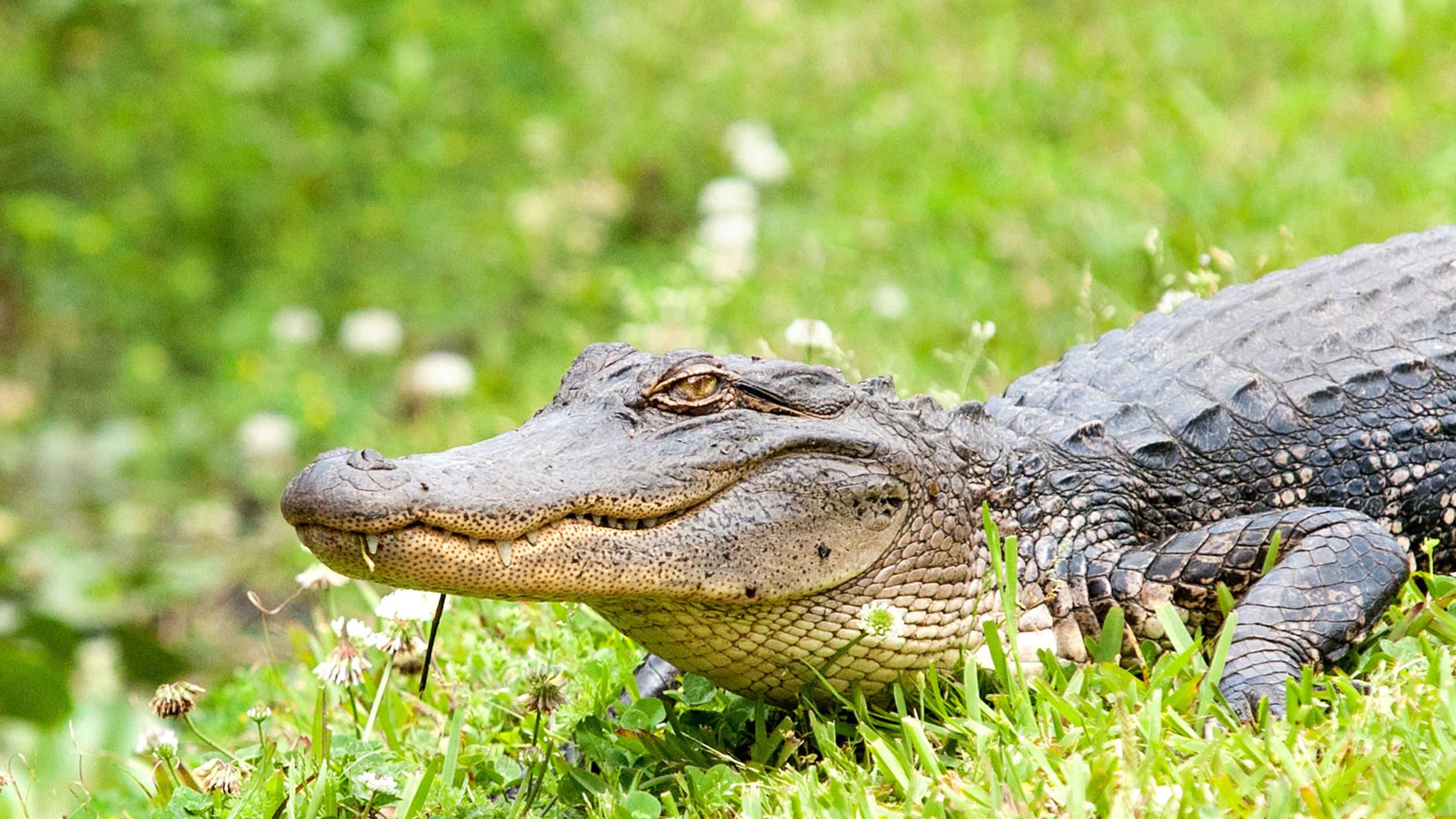 alligators in New Orleans