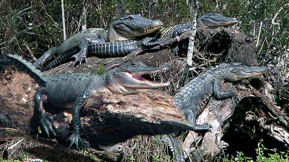 Show item 6 of 6. alligators sunning themselves on logs in New Orleans