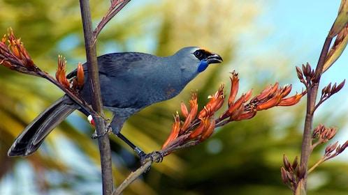 Colorful bird on a branch on Tiritiri Matangi Island