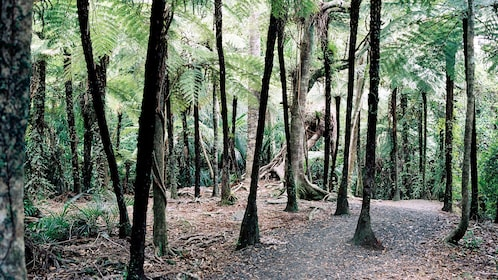 Trees in the Waitakere Ranges Regional Parklands forest in Auckland