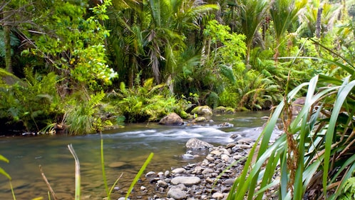 Lush tree-lined river in Waitakere Ranges Regional Parklands in Auckland