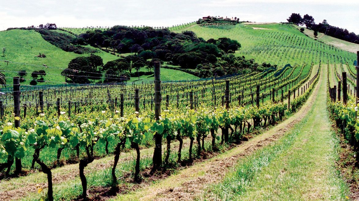 Rows of vines at a vineyard on Waiheka Island