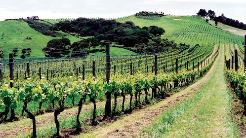Rows of vines at a vineyard on Waiheka Island