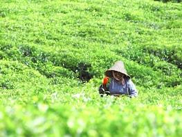 Visite guidée d'une journée complète : route du thé et merveilles du sud