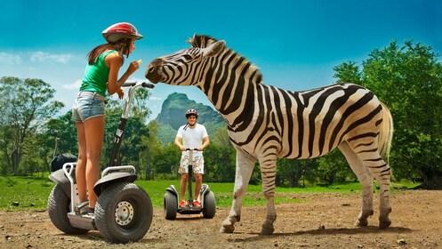 girl on segway feeding a zebra at the Casela Nature Park