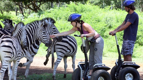 couple on segway interacting with zebras at Casela Nature Park