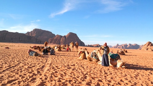 Camels resting in the desert of Wadi Rum