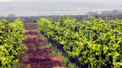 Rows of vines at a vineyard in Amman