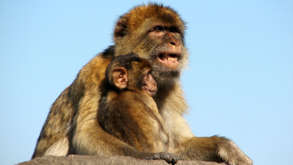 Foto 3 van 5. adult monkey holding its young in Gibraltar