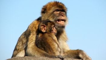 Show item 2 of 5. adult monkey holding its young in Gibraltar