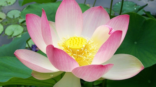 Close view of a water lily in Siem Reap