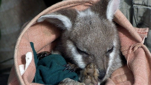 Baby kangaroo in the Blue Mountains area of Australia
