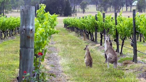 Two kangaroos found in the vineyards of the Hunter Valley wine region in Australia