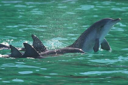 Dolphin Crystal Clear.jpg