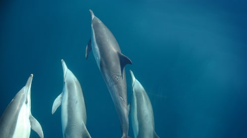 Magnificent dolphins swimming in the blue clear waters of Port Stephens