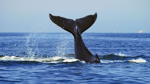 Whale tail in the air before diving in Sydney