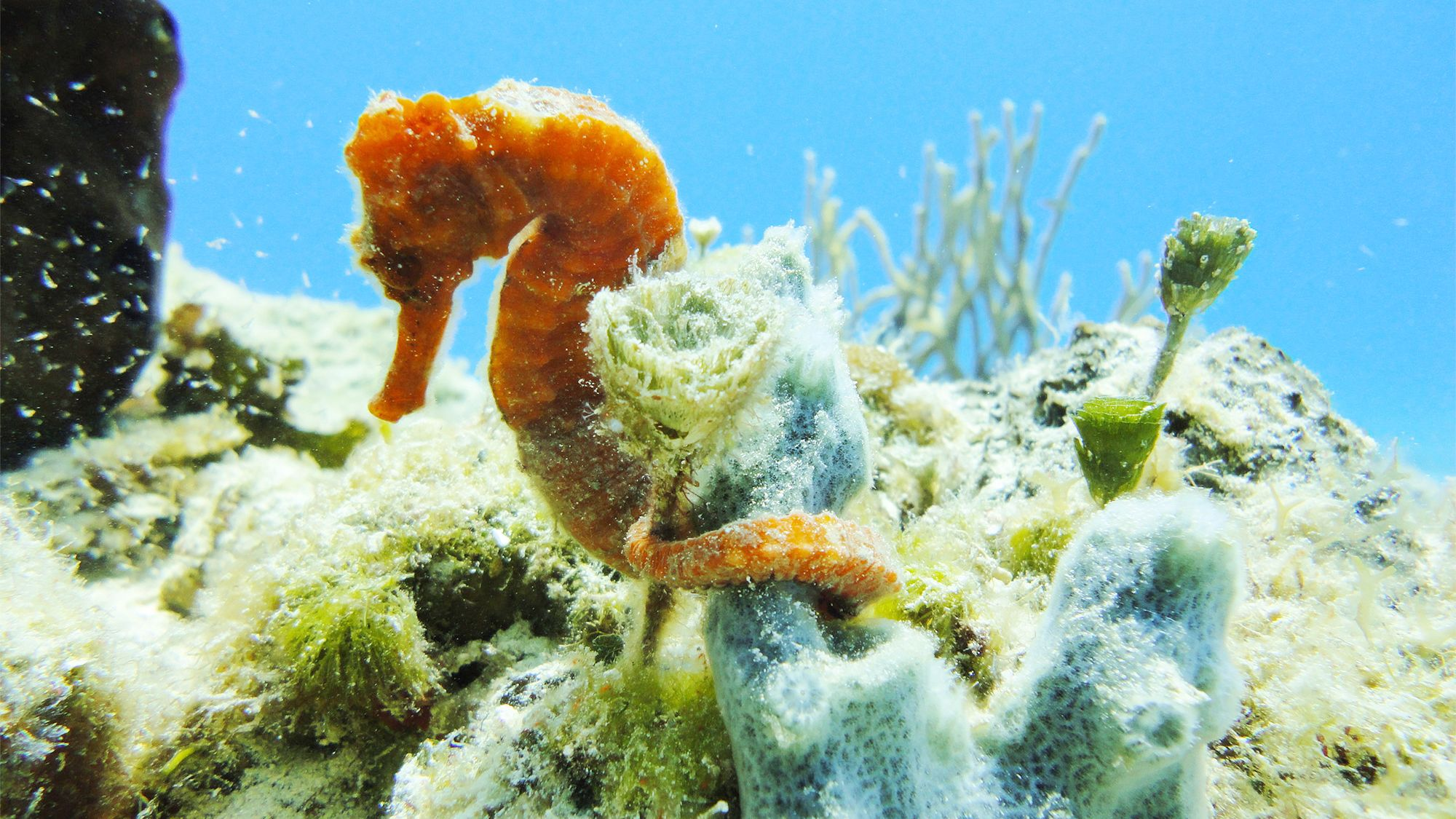 Seahorse anchored to coral in Cozumel