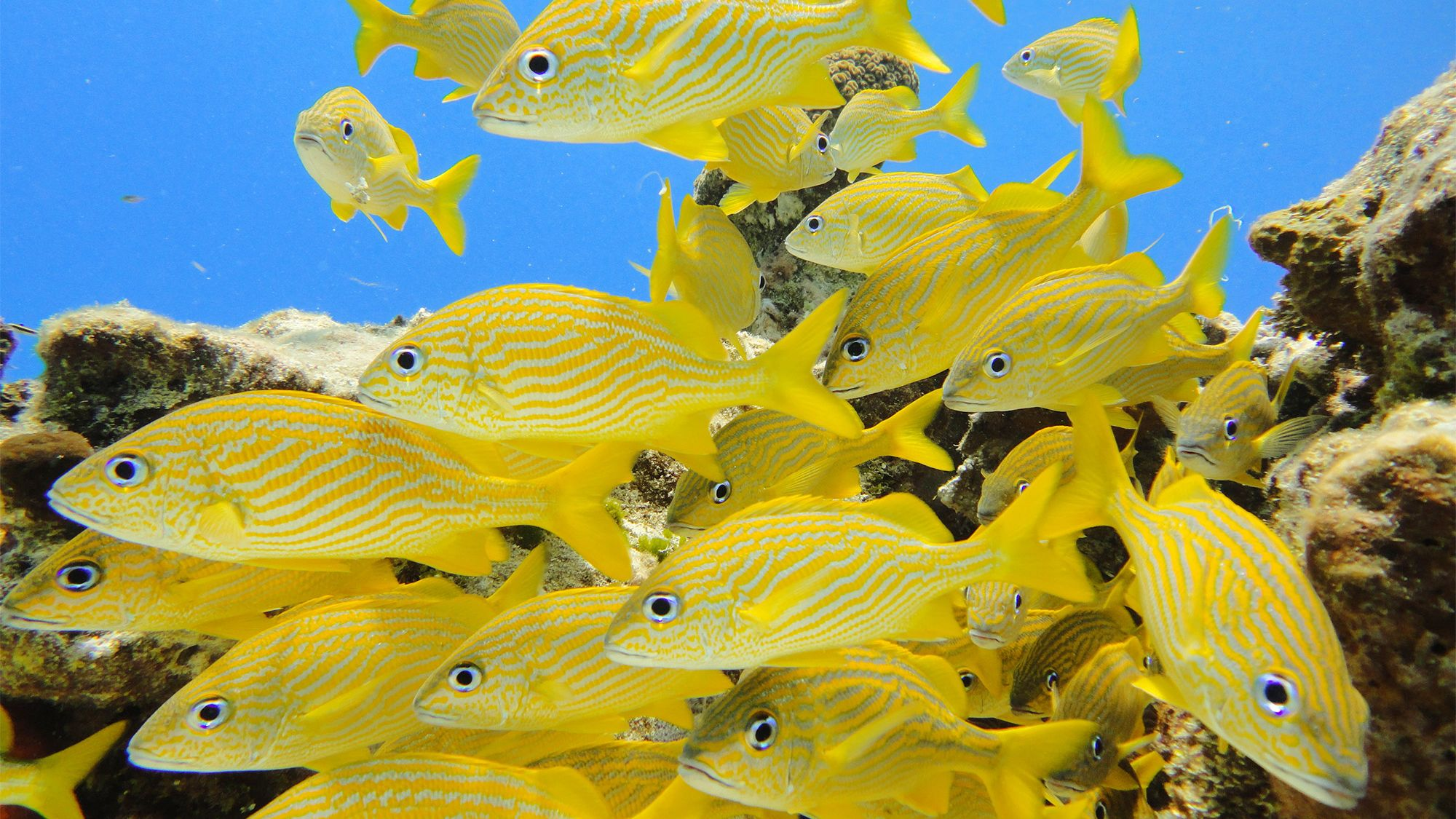 School of bright yellow fish in Cozumel