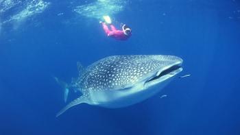 Whale Shark Safari Eco Snorkelling Tour