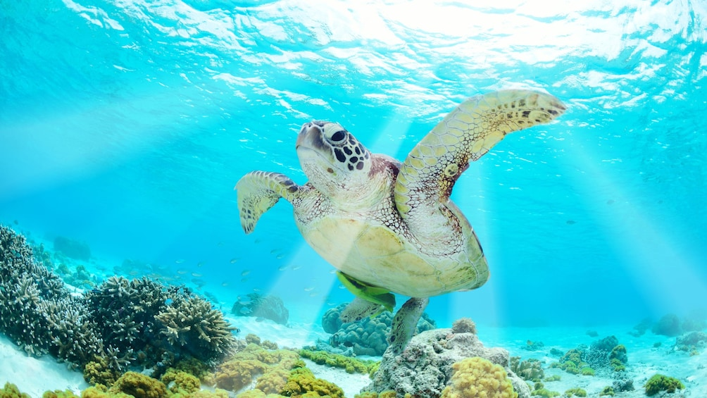 Show item 3 of 5. Sea turtle swimming in the bright blue waters of Cancun