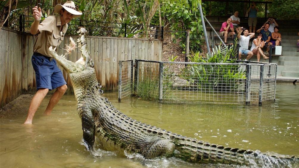 Charger l'élément 1 sur 5. Trainer feeding crocodile at Hartley's Crocodile Adventures in Australia