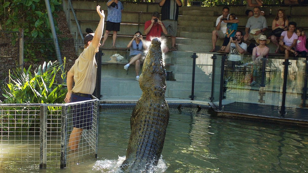 Charger l'élément 3 sur 5. Guests watch in the stands as trainer makes crocodile perform tricks at Hartley's Crocodile Adventures in Australia