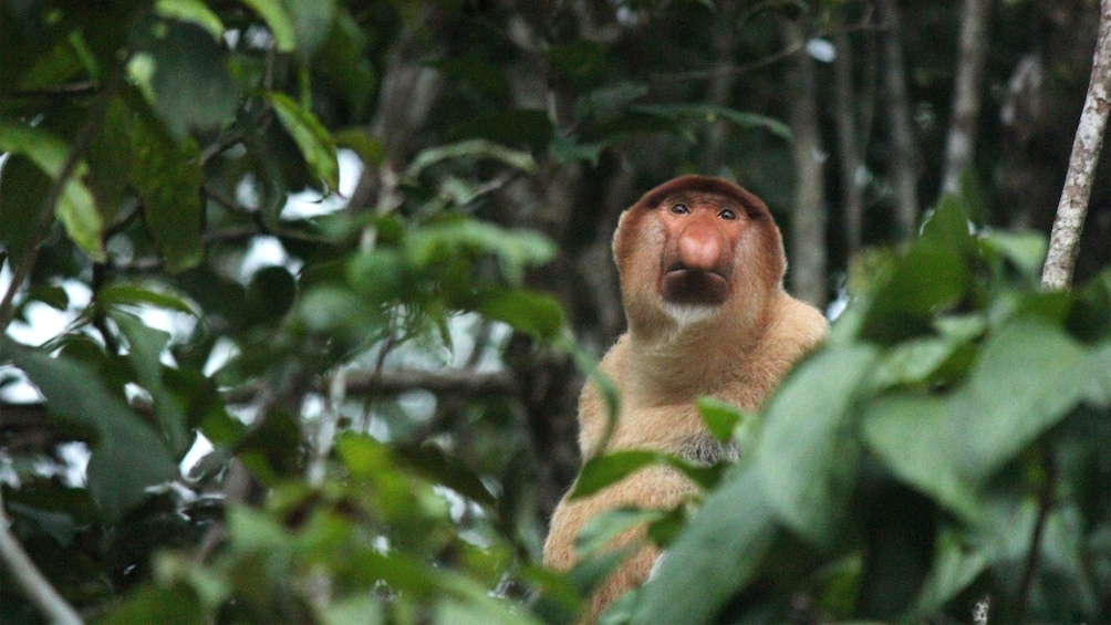 Show item 5 of 5. Monkey in a tree in Kota Kinabalu