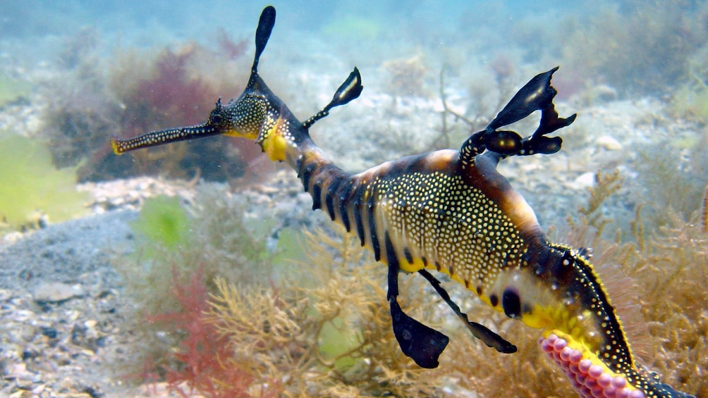Show item 3 of 5. A colorful sea dragon swimming along the ocean floor in Mornington Peninsula