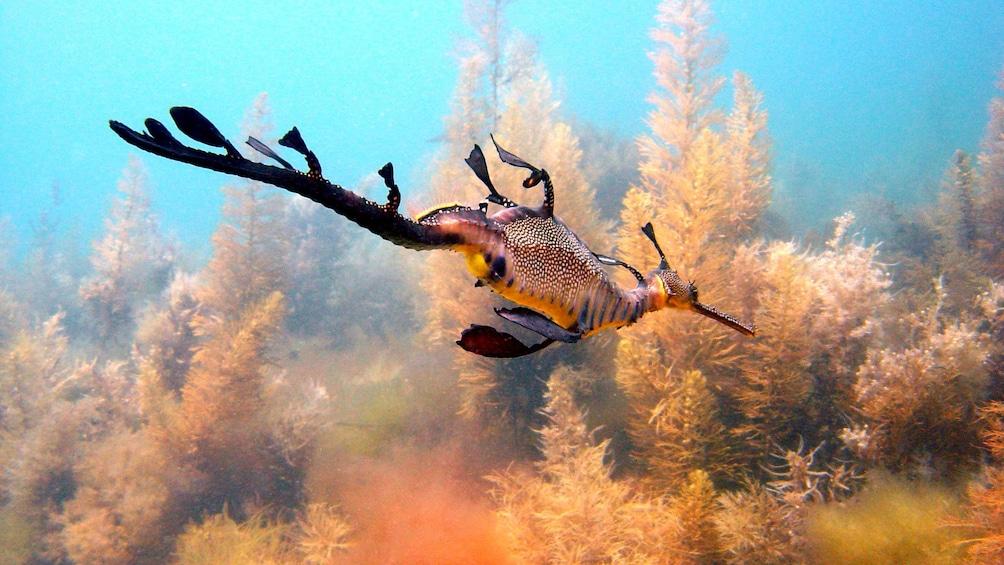 Show item 4 of 5. A sea dragon swimming past coral at Mornington Peninsula